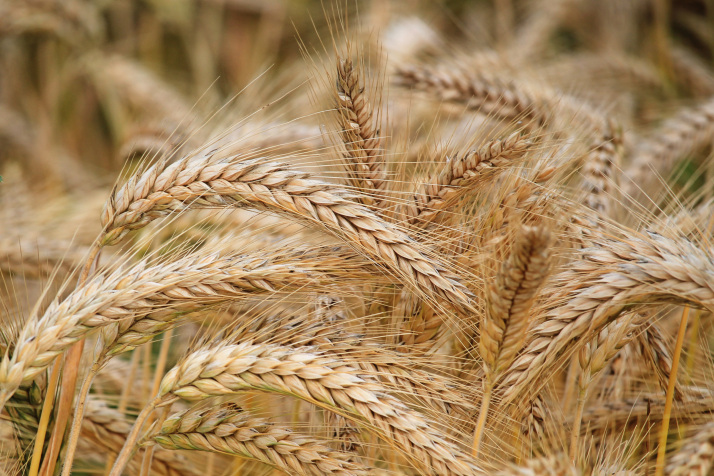 Genetic Parameters for yield and its components in Bread Wheat